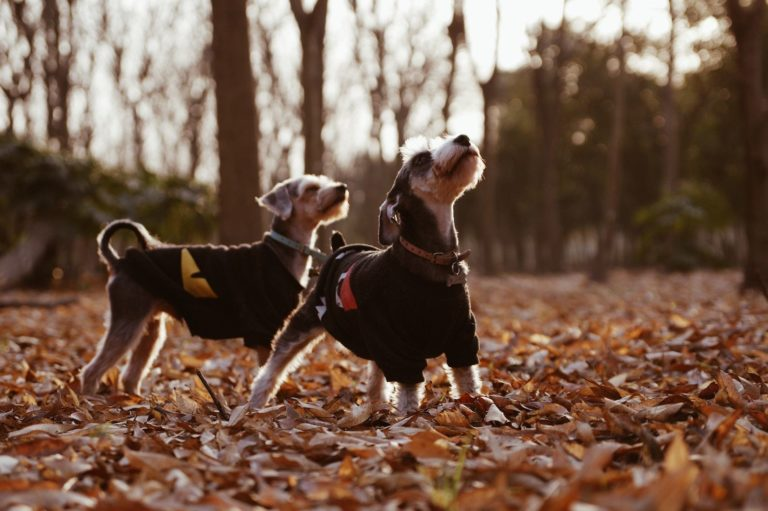 two small black and brown dogs standing in leaves on a Fall day
